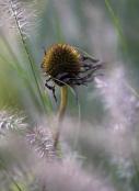 Echinacea with Pennisetum 'Hameln'