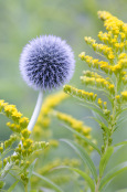 Enchinops with Golden Rod