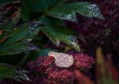 Fallen leaf on sedum