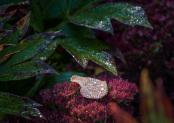 Fallen leaf on sedum