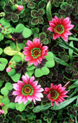 Gazania, Clover and Shamrock