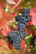 Grape 'Dunkelfelder'
