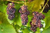 Grape 'Pinot Noir'