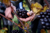 Grape harvest begins