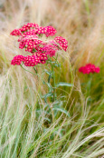 Graceful partners - Achillea millefolium 'Red Velvet' with Stipa tenuissima
