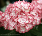 Hydrangea 'Miss Saori'