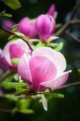 Magnolia soulangeana 'Alexandrina'