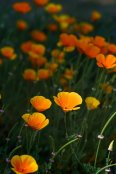 Trials field, Eschscholzia californica