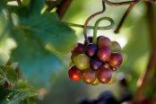 Maturing grapes