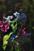 Borage in the border