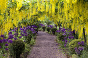 Laburnum Tunnel at the Dorothy Clive Garden