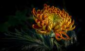 Japanese Chrysanthemum at dusk