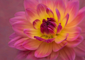 Pink and Yellow Waterlily Dahlia