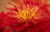 Red Cactus Dahlia