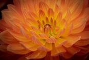 Orange Cactus Dahlia
