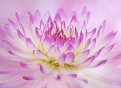 Pink and white Cactus Dahlia