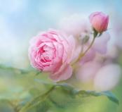 Rose 'Scepter'd Isle'
