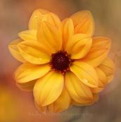 Orange Peony Dahlia