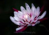 Pink and White Waterlily Dahlia