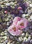 Magnolia Soulangean`a