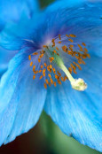 Meconopsis betonicifolia (himalayan poppy)