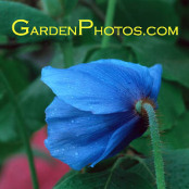 Meconopsis 'Fertile Blue Group' Blue Poppy