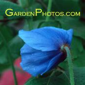 Meconopsis 'Fertile Blue Group' Blue Poppy