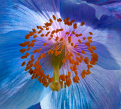 Meconopsis x sheldonii 'Lingholm'