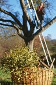 Mistletoe Harvesting