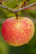 Apple 'Sunshine'