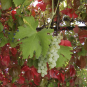 Parthenocissus tricuspidata Veitchii and grapevine