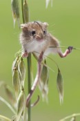 Micromys minutus - Harvest Mouse