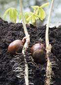 Aesculus hippocastanum seedling