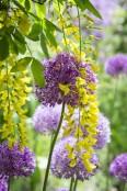 Allium and Laburnum x wateri