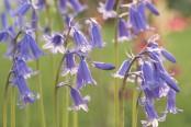 Hyacinthoides non-scripta - English Bluebell