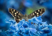 Speckled Wood on Hydrangea