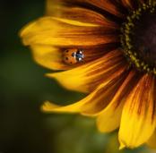 Ladybird on Rudbeckia Rustic Dwarf
