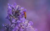 Red cardinal beetle on Lavender