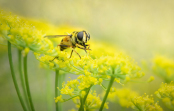 Hoverfly on Fennel