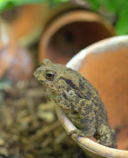 Potted toad