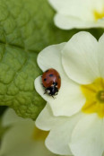 Primrose (Primula vulgaris) with a ladybird