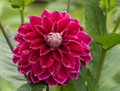 After the Rain: Dahlia 'Purple Pearle'