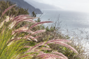 Pennisetum on the cliffs of Big Sur, California