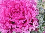 Ruffled pink Brassica