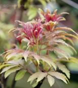 Sambucus racemosa plumosa 'Aurea'