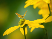 Small Copper butterfly on Rudbeckia