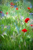 tammymarlar-pgpa-poppies-2021