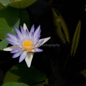 Tropical waterlily and leaves