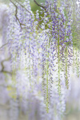 Wisteria Shower