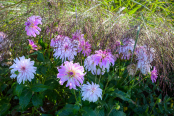 Dahlias and Grasses in Morning Dew